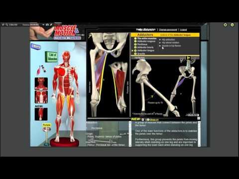 Болит мышца длинная приводящая мышца