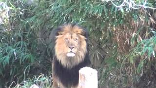 Funny! - Lion annoyed by loud kid stares back at Smithsonian National Zoo in Washington DC