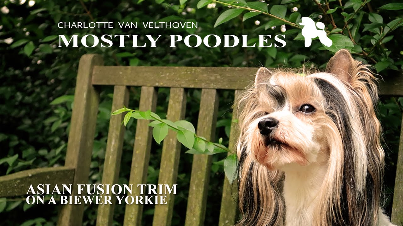 Asian Fusion Groom With A Biewer Yorkie Full Tutorial Youtube
