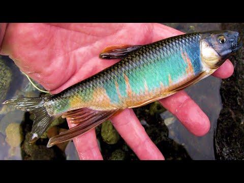 """[HD] フライフィッシング / Fly fishing  ミッジ de オイカワ 201506中旬2 video 動画 """"Flyfisher's eyes. No.36"""""""