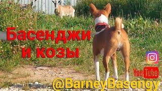 Басенджи и козы