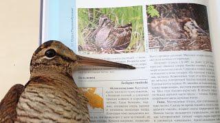 Нелепая птица вальдшнеп. Потерпевшие на всю голову