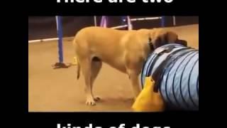 видео Аджилити для собак