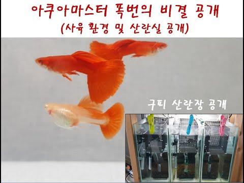 구피 사육 환경 공유 및 폭번 비결 공개/산란실공개,Albino Full Red Guppy,guppy Full Red