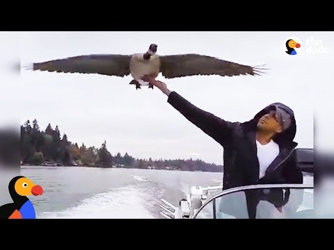 Goose Visits Man Who Rescued Her Every Day | The Dodo