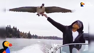 Goose_Visits_Man_Who_Rescued_Her_Every_Day_|_The_Dodo