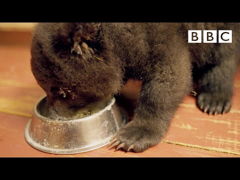 Adorable Grizzly Bear cub learns to feed from a bowl | Grizzly Bear Cubs and Me - BBC