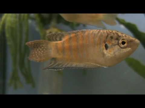 Paradise Fish (Macropodus Opercularis) For Sale At Tyne Valley Aquatics