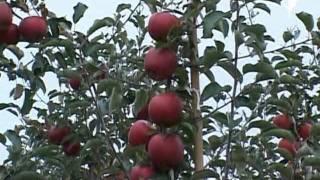 Своевременный сбор яблок. Польский фильм