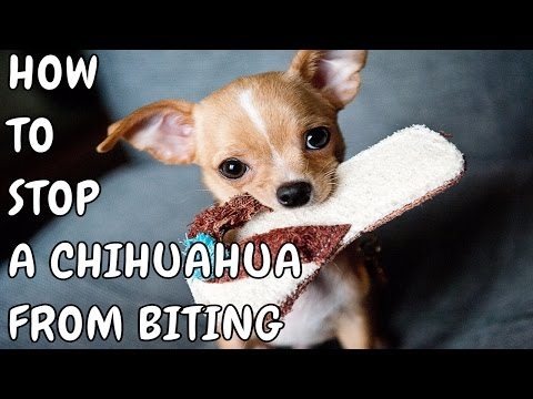 🔆🔆🔆how-to-stop-a-chihuahua-from-biting-❤-how-to-stop-a-dog-from-chewing---free-mini-course🔆🔆🔆