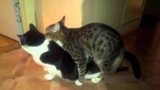 Котики ласкаются
