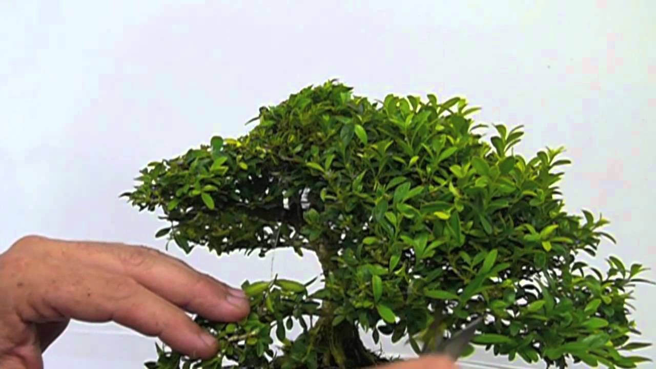 Pruning A Boxwood Youtube