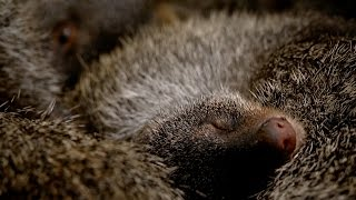 Grab a baby mongoose to go - Animal Super Parents: Episode 3 Preview - BBC One