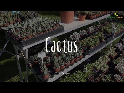 Cactus : conseils pour le faire fleurir