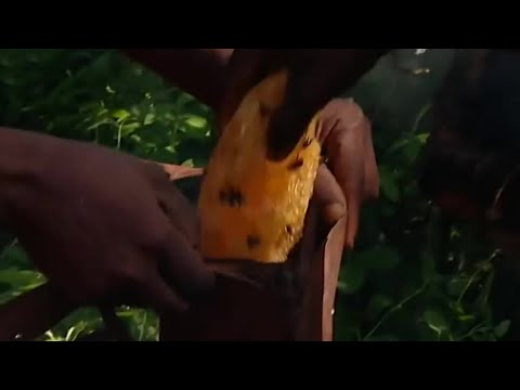 Collecting Honey With The Akie - Tribe With Bruce Parry - BBC