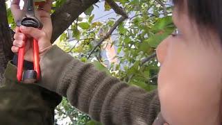 柿採り Kaki Fruit Harvest