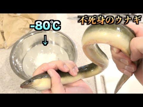 凍っても不死身!! −80℃の液体に生きたうなぎを入れた結果。。。