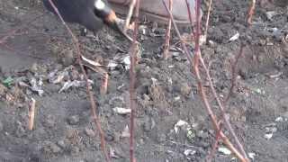 Срезаем абрикосовый подвой , заокулированный персиком.(В прошлом году в августе, сеянцы абрикоса были заокулированы персиком. Пришла весна и мы проверяем результа..., 2014-03-15T09:47:04.000Z)