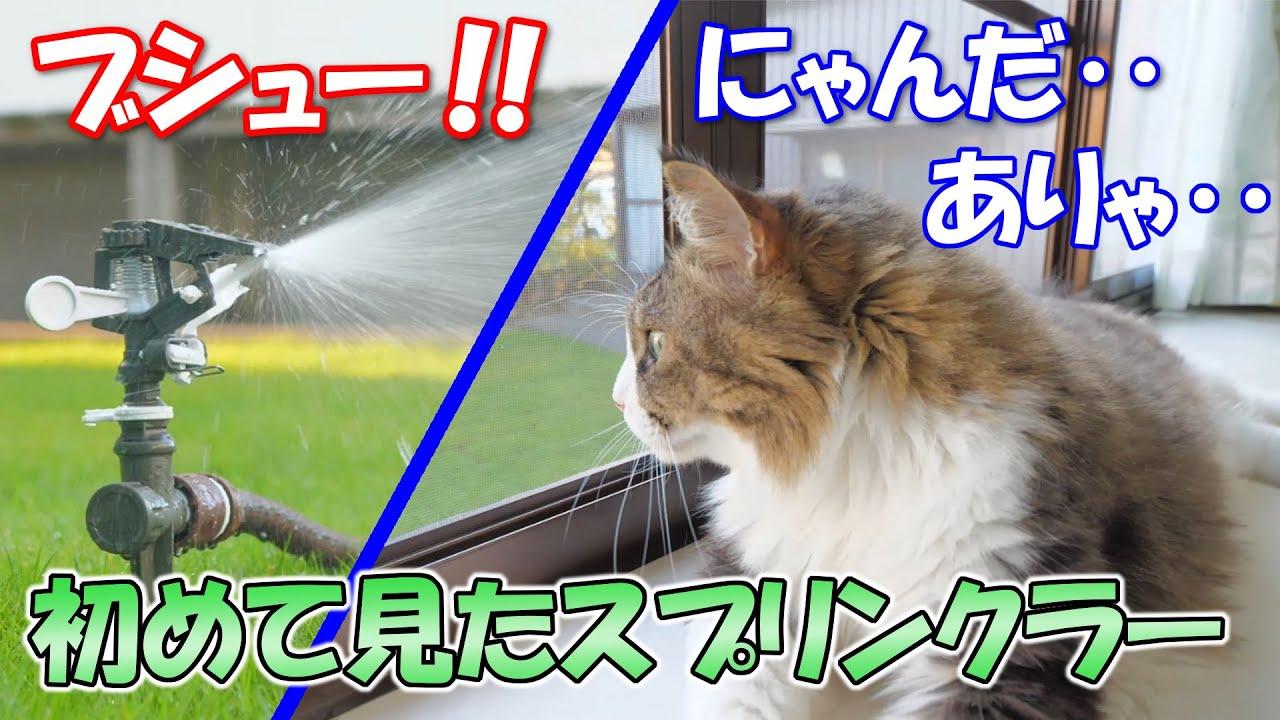 初めて見たスプリンクラーに驚きを隠せない巨猫のボス吉