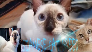 MOST POPULAR CUTE AND FUNNY SIAMESE CATS VIDEO (Cat Playing)