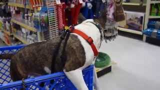 Teddy, Mini Bull Terrier, Having Fun Cart Riding At The Pet Store