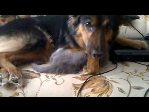 Собака-мать и котенок-сын.