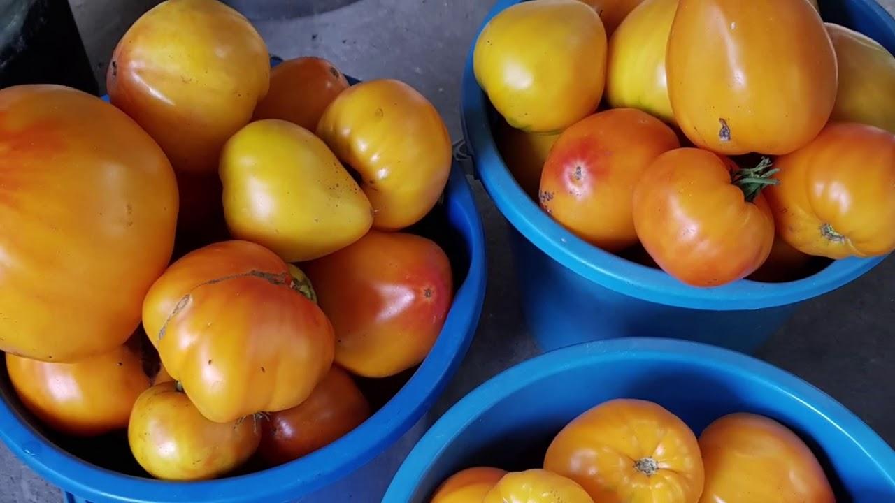 Наступила жара и как чувствуют себя помидоры. Бабушкин огород в Аше. Лазаревское, июль 2020