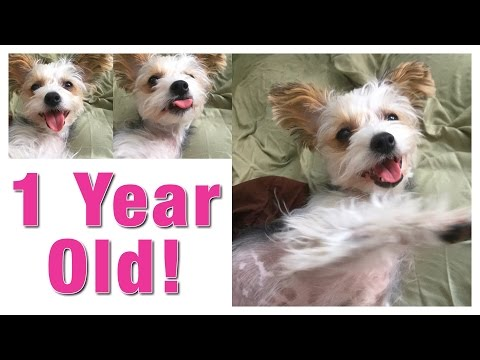 Chinese Crested Dog - 1 year old today!