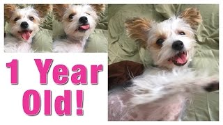 Chinese Crested Dog  1 year old today!