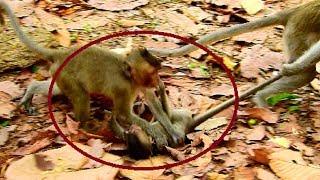 Poor Duke !! Mum Duches drag baby even baby walk, What happen next on baby 580