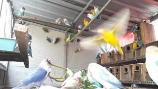 Download Suara burung lovebird koloni, bikin burung jadi ngekek panjang