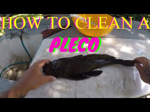 HOW TO CLEAN A PLECO ( PLECOSTOMUS )