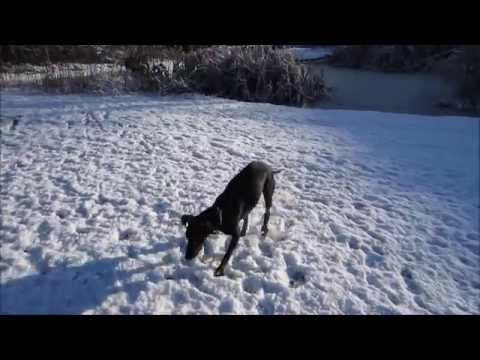 Chester the Manchester Terrier having some snow fun