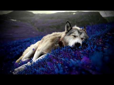 The Best Music For Sleeping | Lavender Fields | Relaxing Stress Relief & Sleep Music