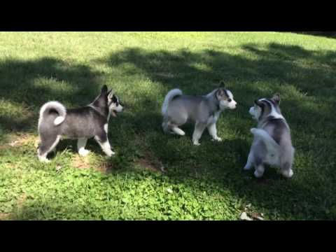 Family Playtime with Our Siberian Huskies and Their Husky Puppies