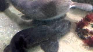Hondshaai legt een ei