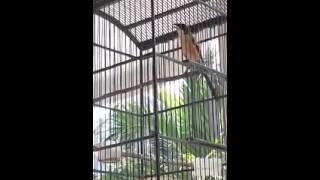 Burung Pentet Rajin Gacor | Cendet Madura