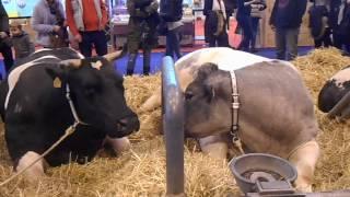 vaches salon de l agriculture 2017