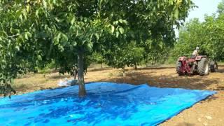 Hilal Ceviz Hasat Makinası  2 2017 Video