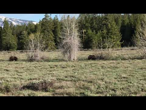 Yellowstone Grizzly bears- Summer 2019