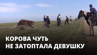 Корова чуть не затоптала людей на фестивале тюльпанов
