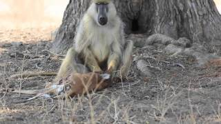 This is Nature: Baboon eating baby impala