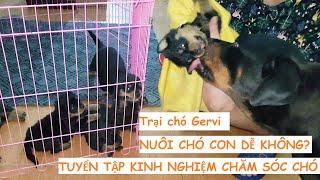 Chia sẻ cách nuôi chó Chăm sóc chó Rottweiler con- Cách tắm khô cho chó con của Trại chó Gervi