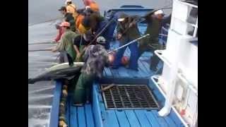 Как ловят тунца. How to catch tuna