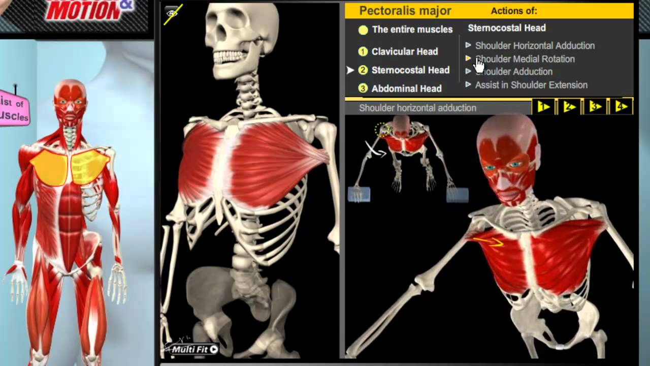 How the Muscles Work: 3D Anatomy & Diagrams