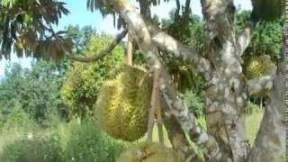 Perkebunan Durian Montong di Kuansing
