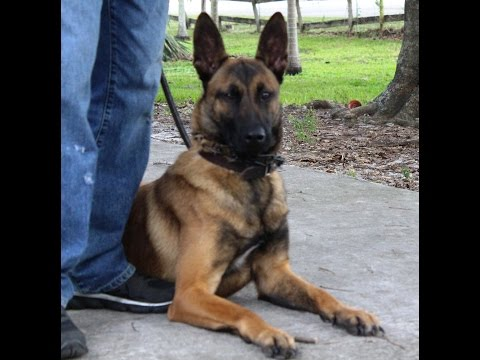 HighClass K9 Female Belgian Malinois 'Tia' Trained in Obedience & Protection