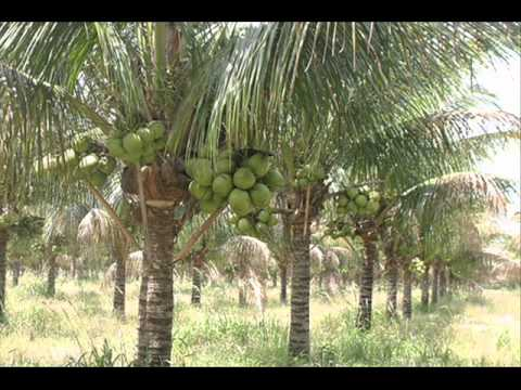 Hybrid Coconut Tree
