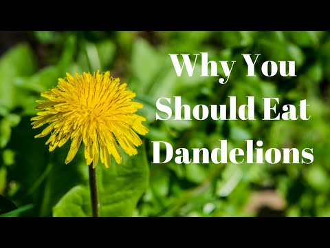 "Help Heal Your Liver and Other Things With Dandelions -""Survival Blog"""