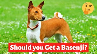 Basenji: Interesting and Shocking Facts, Information and Personality Traits